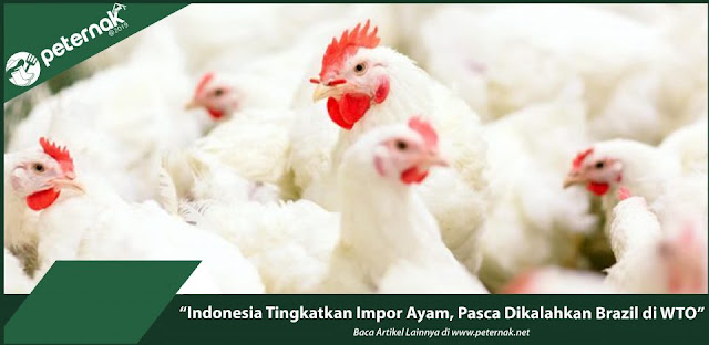 Tips Sukses Berbisnis Ternak Ayam untuk Pemula
