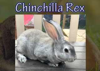 warna Chinchilla bulu kelinci jenis rex a