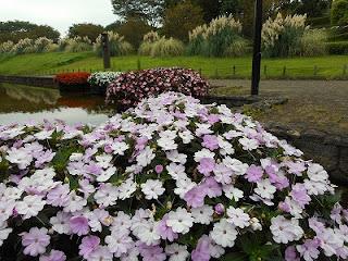 サンパチェンス                          サカタのタネグリーンハウス水上花壇