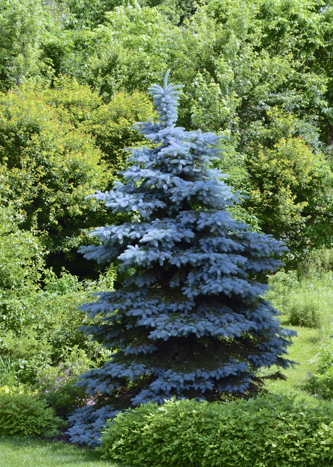Colorado Blue Spruce 30