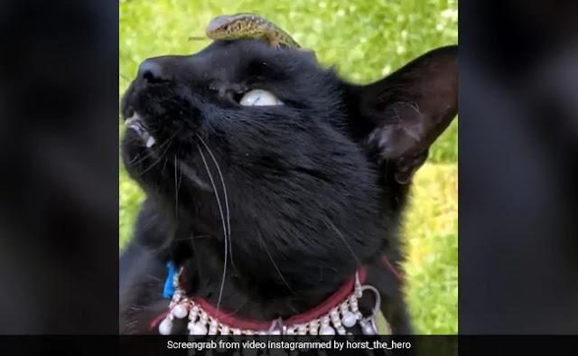 बिल्ली के सिर पर चढ़ गई छिपकली, डरकर बनाने लगी ऐसा चेहरा और फिर... देखें Viral Video