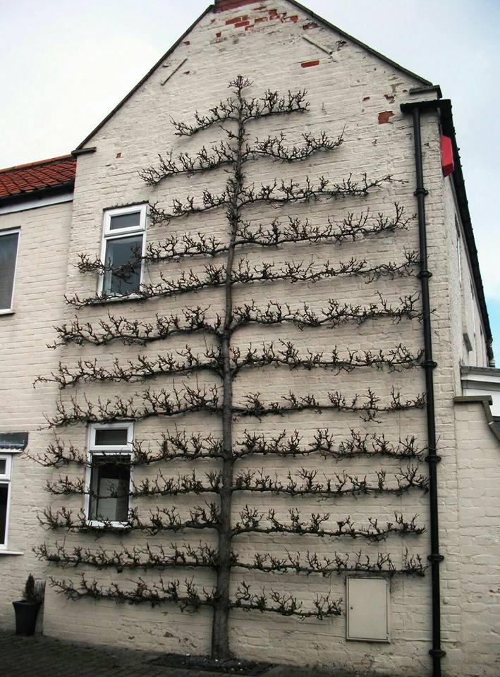 tao tán cấy men theo bức tường nhà