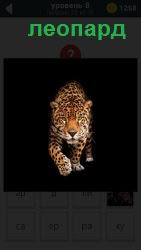 Пятнистая кошка леопард осторожно крадется к своей добыче, мягко ступая подушечками на лапах