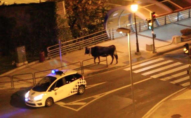 Vaca por las calles de Cruces