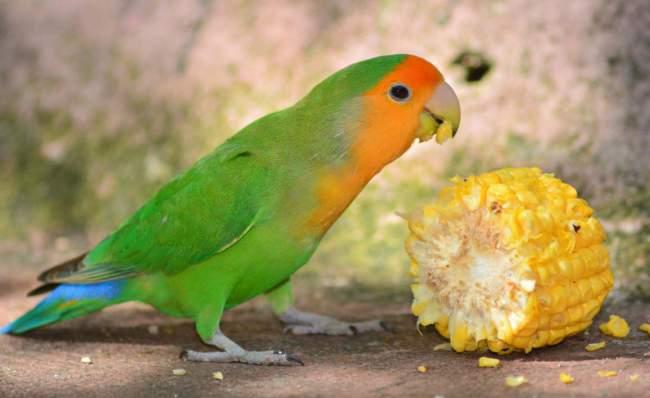Berikan multivitamin dan nutrisi lovebird