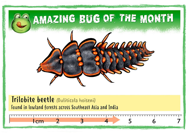 Bug Belly, graphic showing Amazing Bug of the month, Trilobite Beetle