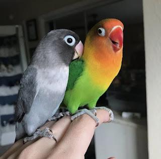 Suara Burung Lovebird Serak Dan Malas Ngekek Ini Solusinya