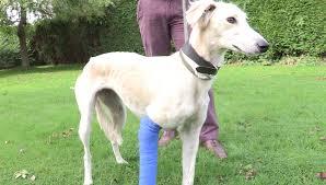 lesões em cães