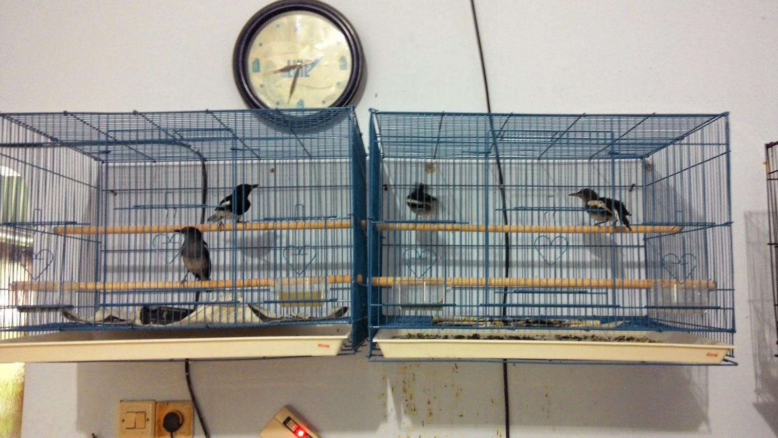 6 Cara terbukti berhasil ternak burung kacer