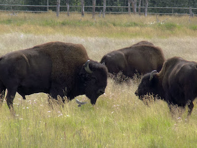 Bison Are Large, Even-Toed Ungulates (Hoofed Mammal)