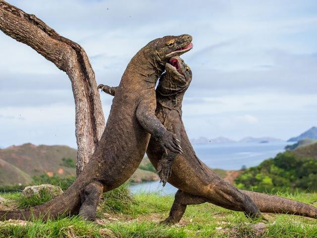 Komodo Dragon is Monster-like