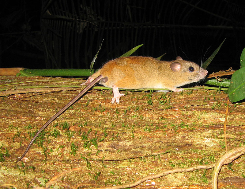 Alerta: se extingue el primer mamífero a causa del cambio climático