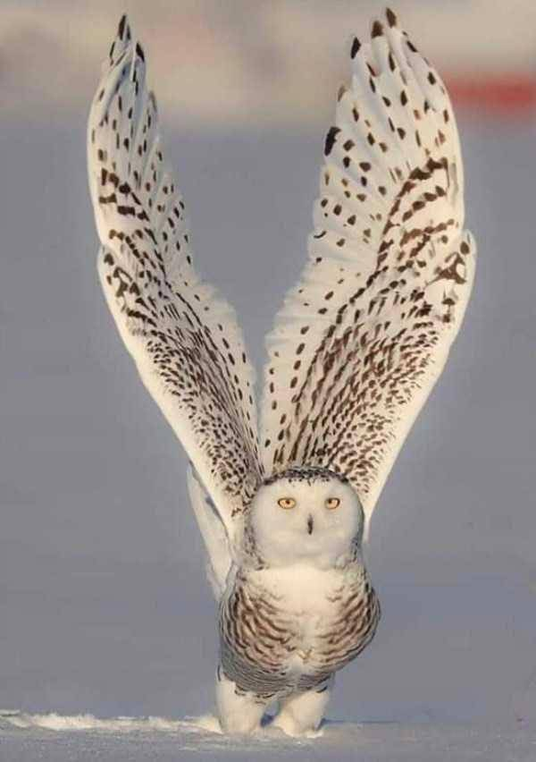 Majestic Owl!