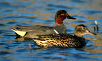 Green-winged teal pair, by David Menke, USFWS, Apr. 2008