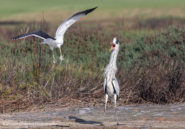 Kelp Gull Attacking Grey Heron Woodbridge Island Vernon Chalmers Photography 1