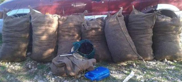 Κατασχέθηκαν 6.000 αχινοί στη Μαλεσίνα που είχαν αλιευθεί παράνομα