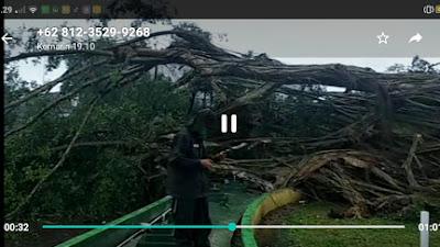 Pohon Beringin Raksasa Usia 141 Tahun di Lumajang Ambruk Diterjang Angin