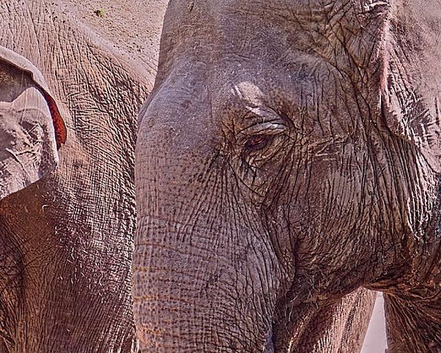 elephants random facts