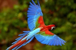 Know the Characteristics of Scarlet Macaw, Food and Behavior