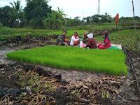Dukung Peningkatan Produksi Padi Babinsa Koramil 11 Danau Panggang jadi Pengawal Petani Desa Pararain