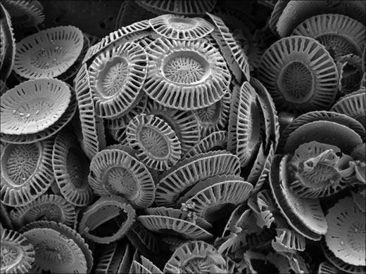 Haptophytes