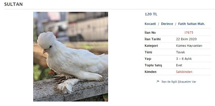 Sultan Paçalı tavuk cinsleri fiyatı