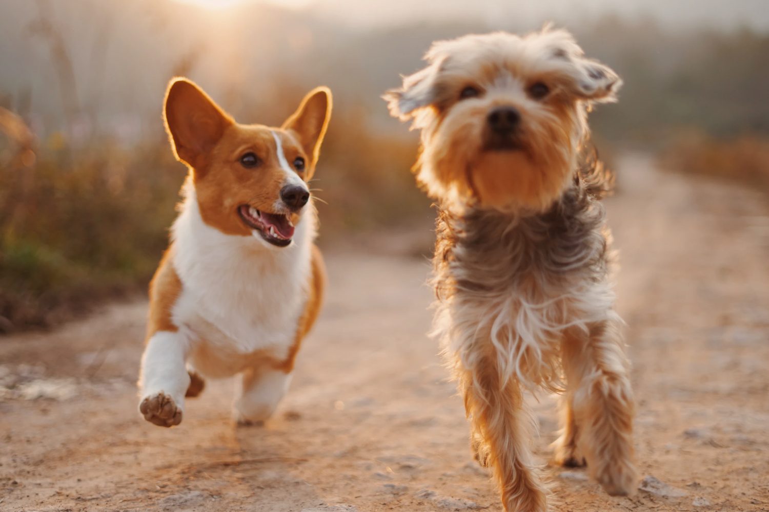 two brown small dogs are running towards camera