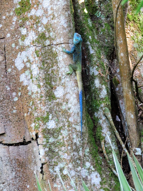 Blue lizard in Bigodi Wetlands in Western Uganda