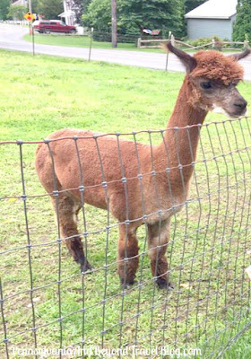 Patchwork Farm Alpacas in Selinsgrove Pennsylvania