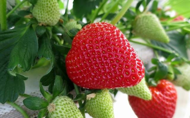 Πώς φυτεύω - καλλιεργώ φράουλες