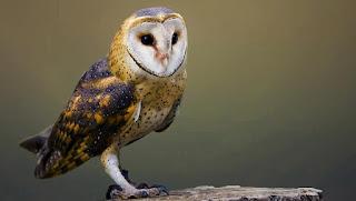 Barn Owl Presentation