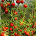 Tomatoes Farm Workers Needed In Canada - APPLY