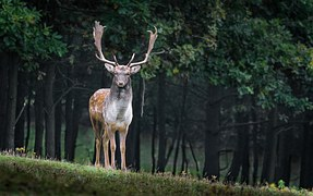 fallow-deer-984573__180.jpg