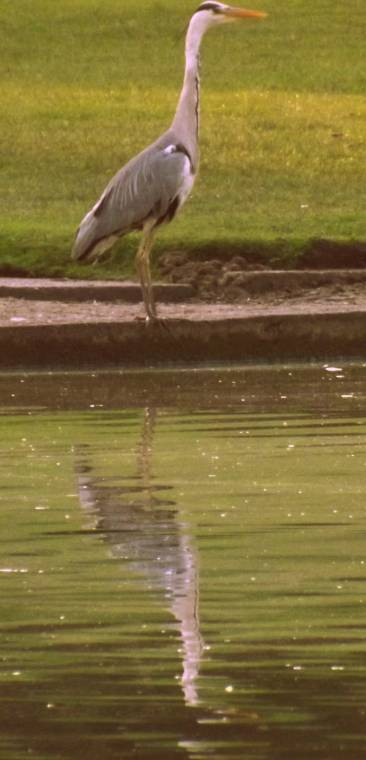 Heron Standing Tall And Proud: Silent Sunday Photo