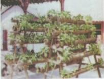 Gambar Sawi sendok yg dibudidayakan secara vertikal