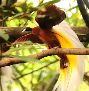 Burung Cendrawasih