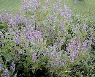garden sage, Salvia officialis