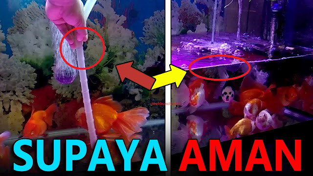 Perhatikan 4 Hal Penting Ini Sebelum Melakukan Penggantian Air Aquarium Ikan Hias Mas Koki!
