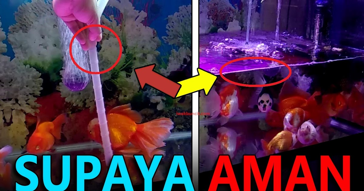 Perhatikan 4 Hal Penting Ini Sebelum Melakukan Penggantian Air Aquarium Ikan Hias Mas Koki
