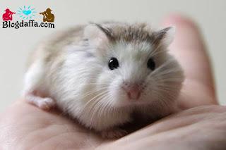 Hamster White Face Roborovski