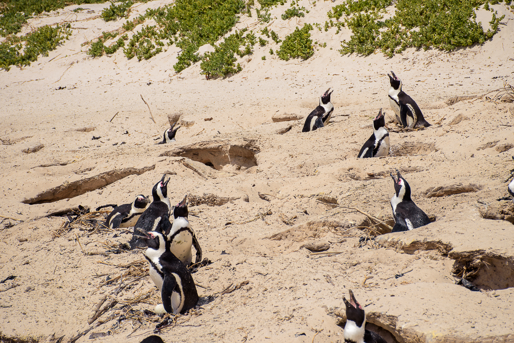 animals, penguins and seals boulders beach cape town south africa