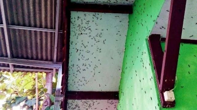 Warga Sukabumi Diteror Hama Ulat Bulu, Nempel di Rumah dan Bangunan Sekolah