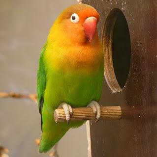 Cara Memasang Ring di Kaki Lovebird dengan Mudah