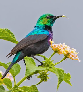 Suara Burung Purple-banded sunbird