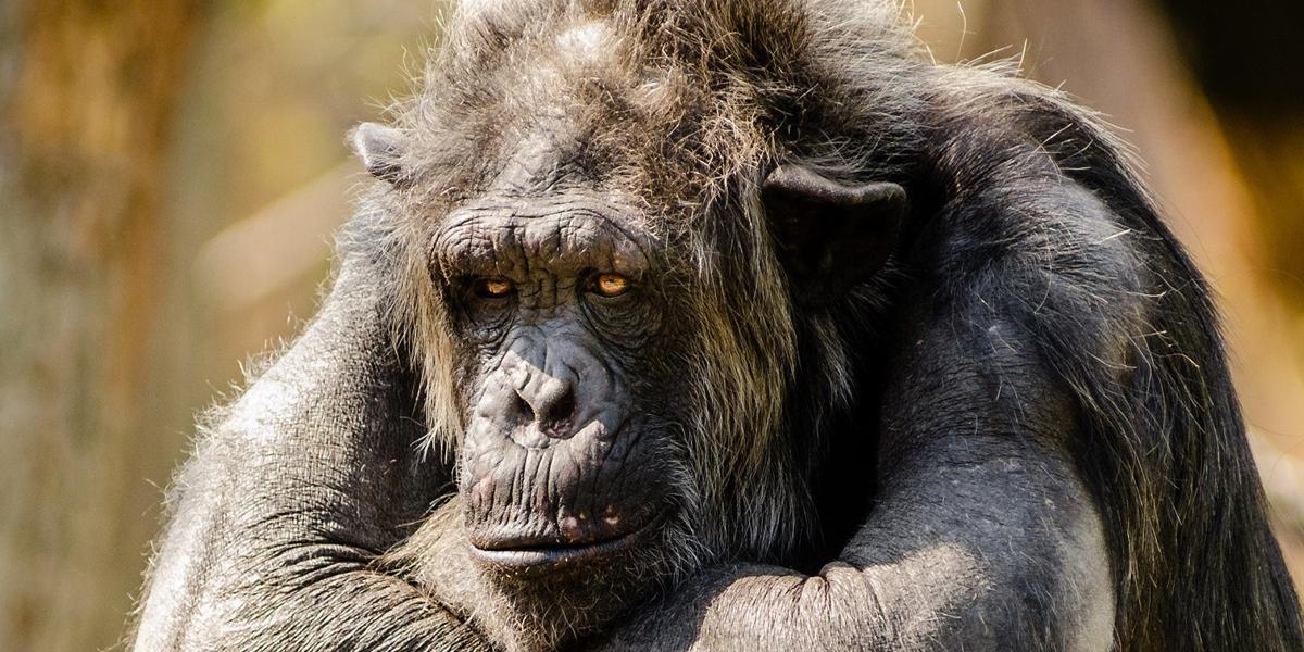 Chimpancés huérfanos salvajes, capaces de reponerse del estrés