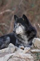 , Gray Wolf