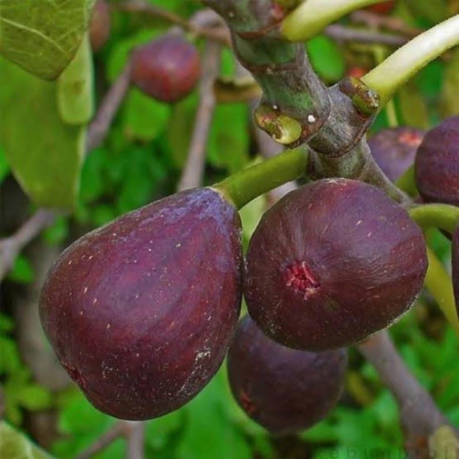Bibit buah tin purple Mataram