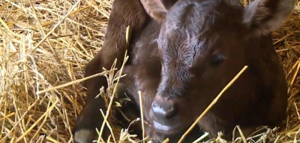 Cow on Illinois farm gives birth to rare triplets|interesting news|