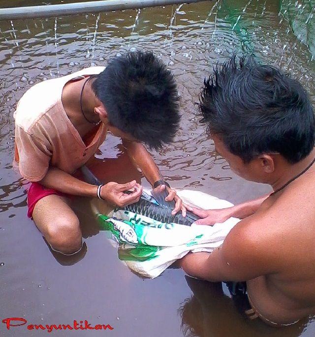 Budidaya Ikan Jelawat Pembenihan