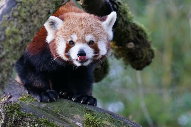 Panda rojo en una rama saca la lengua